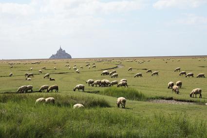 Le Mont-Saint-Michel et les agneaux de prés salés